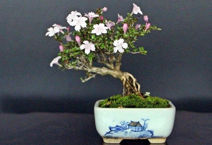 bonsai almendro flores blancas