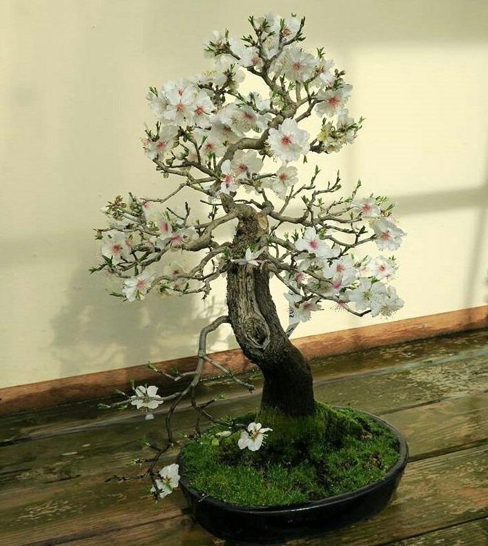 bonsái almendro cuidados con flores