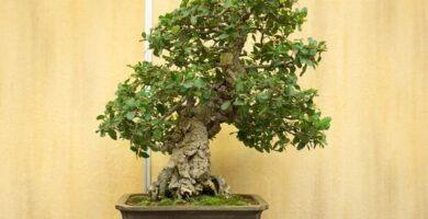 bonsái alcornoque