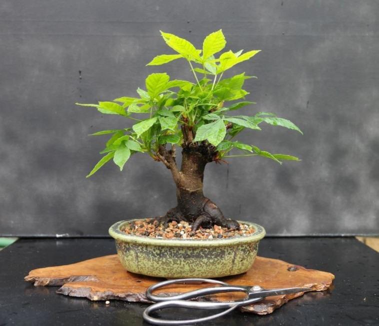 Cuidados del bonsái castaño