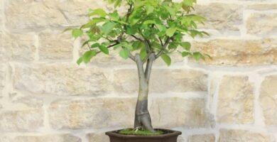 cuidados y poda de bonsai nogal
