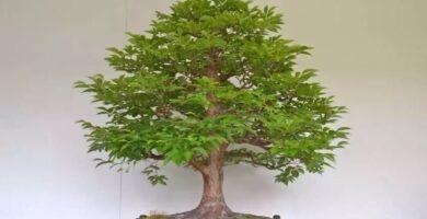 bonsái roble