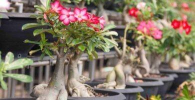 Cuidados bonsái rosa del desierto