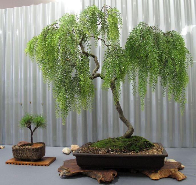 bonsái sauce llorón
