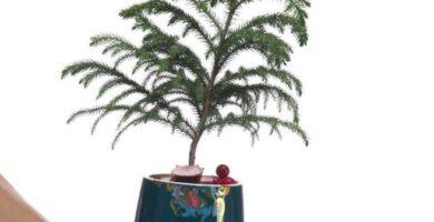 cuidados bonsai araucaria pino de la isla norfolk