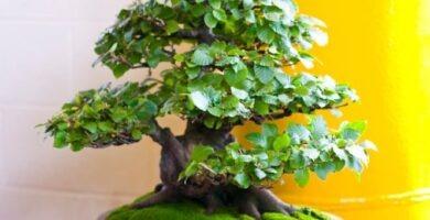 Cuidados bonsái haya europea