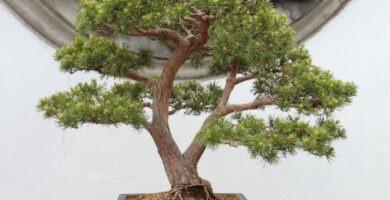 Cuidados del bonsái pino silvestre